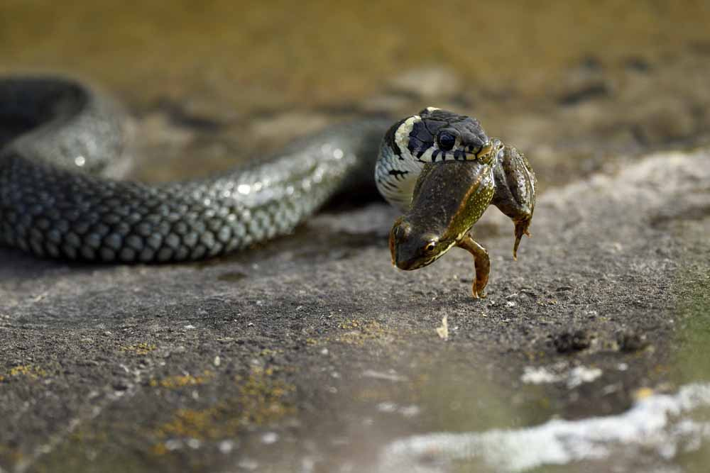 Die Ringelnatter (Klasse: Reptilien)