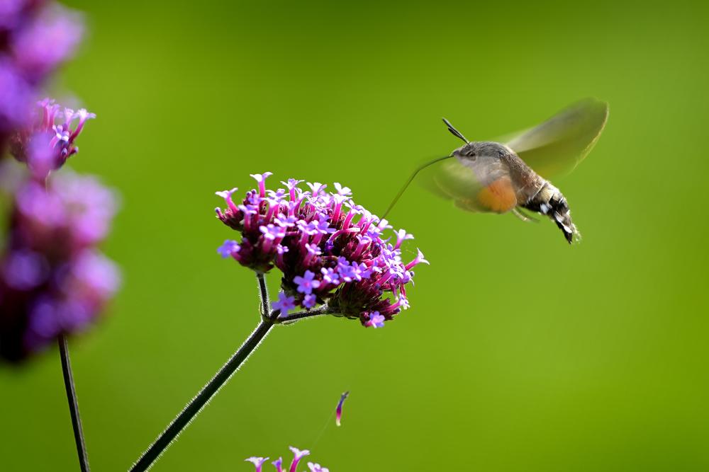 Der deutsche Kolibri, das Taubenschwänzchen!